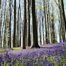 Jacinthes sauvages bois de Hal