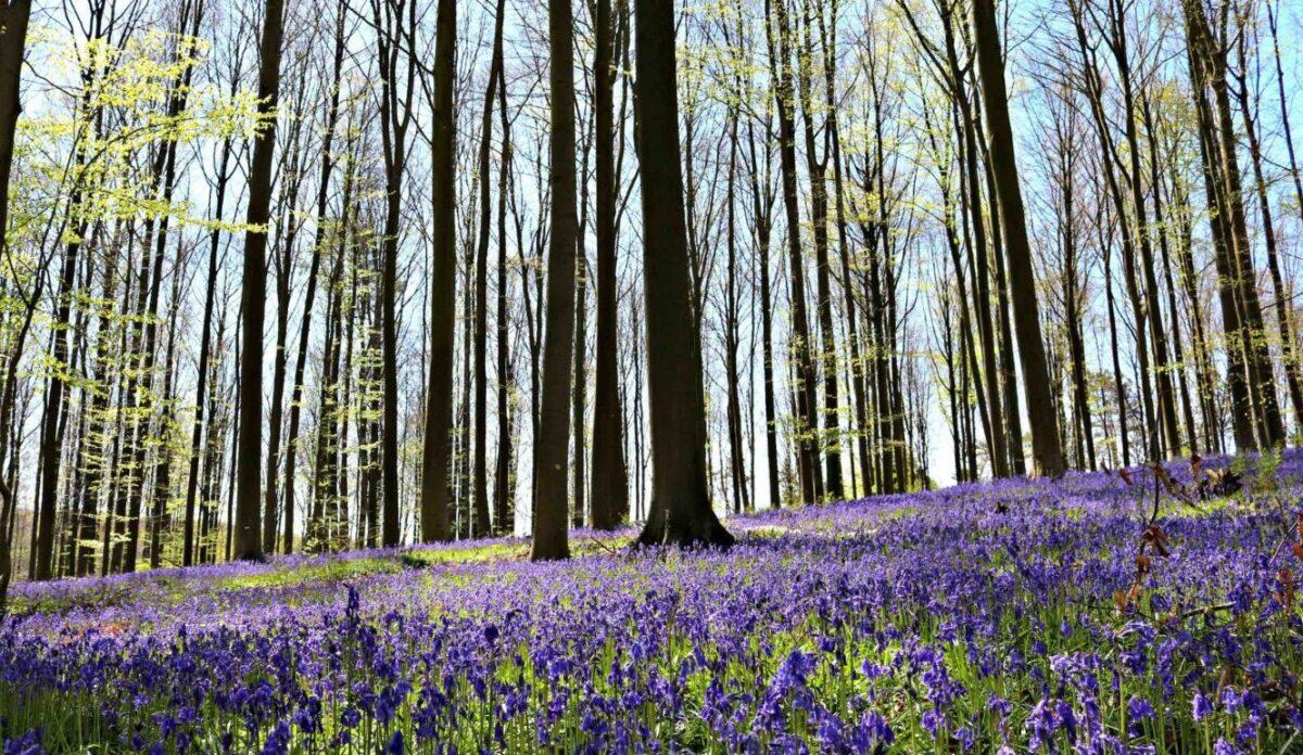 Fleur De Sous Bois Bleue floraison des jacinthes sauvages au bois de hal - vivre à